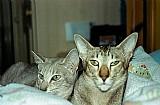 Dois gatos orientais de pelo curto