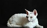 Filhote de gato oriental de pelo curto