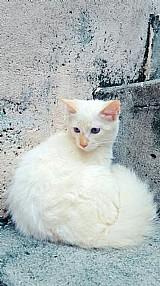Filhote de gato mestico de sagrado da birmania com siames