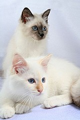Filhotes gato birmanes machos