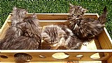 Gato maine coon filhotes com pedigree macho