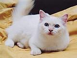 Filhotes de gatos sagrados da birmania