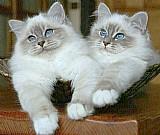 Lindos filhotes de gatos sagrados da birmania