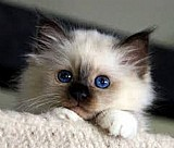 Gato birmanes