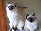 Filhotes gato sagrado birmanes