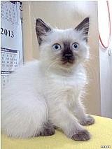 Gato birmanes macho a venda