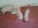 Vendo filhotes de gato birmanes,  olhos azuis,  dias,  vermifugados.