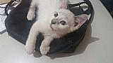 Gatinhos 3 meses ragdoll sem pedigree