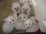 Filhote de gato ragdoll a venda em são paulo