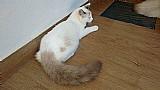 Ragdoll gato filhotes