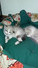 Gatos ragdoll casal a venda em bh