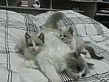 2 filhotes ragdoll