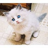 Filhotes de gato ragdoll com teste pkd!