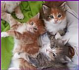 Venda de filhotes de gatos maine coon