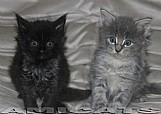 Vendo filhotes gatos raca maine coon
