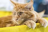 Vendo gato maine coon,  esse gigante gatinho