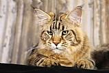 Filhote de main coon gato domestico