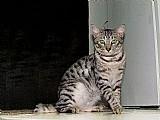 Gato da raca bengal
