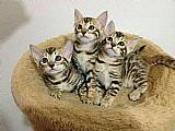 Lindos filhotes bengal