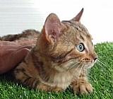 Gato bengal, bengala docil com aparencia de leopardo