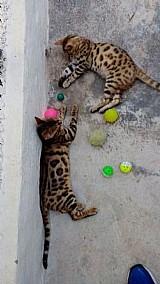 Gatos raca bengal