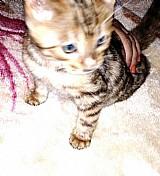 Exemplar macho de gato alta qualidade bengal