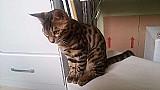 Gato bengal macho c/ pedigree