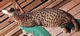 Filhote de gato bengal femea com 8 meses