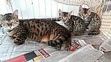 Filhote gatos da raca bengal df