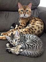 Filhote de gato bengal mini leopardos