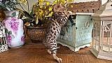Filhotes de gatos bengal. parcelamos no cartao