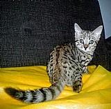 Gato bengal filhotes linhagem exclusiva