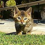 Lindo filhote de gato bengal