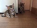 Filhotinha de gato beng alice,  linda gato bengal ja castrada