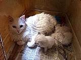 Lindos filhotes de gato angora whats 9 8413-0265