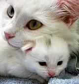 Filhote de gato angora