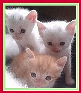 Filhotes de gato domestico de raca arabe