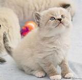 Filhote de gato ragamuffin a venda em vitoria