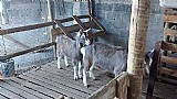 Cabras toggenburg