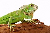 Terrario para iguana