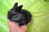 Mini coelho ou coelho anao muito fofinhos e peludos