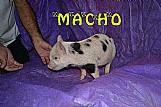 Mini pig mini porquinho muito lindo o mini porco e lindo demais