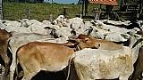 Gado super oferta gado nelore
