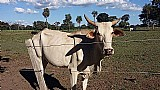 Lindas vacas