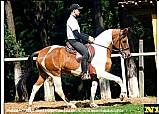 Cavalo mangalarga cacador da conquista