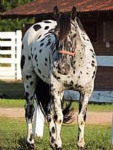 Cavalo domado a venda permanente (parc. direto 36x)