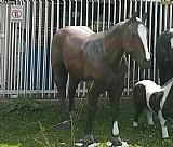 Cavalos em fibra