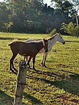 Cavalo mestiço casal