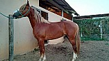 Cavalos mangalarga em campinas