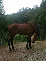 Cavalos  quarto de milha dois muito barato
